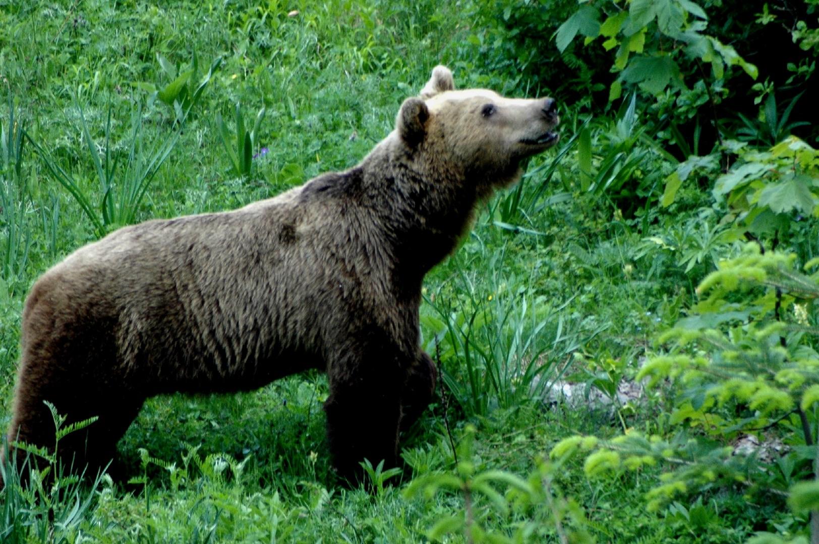 Καφέ αρκούδα στην χαράδρα του Αώου Βαλκανικό αγριόγιδο (Rupicapra rupicapra) Βαλκανικό αγριόγιδο (Rupicapra rupicapra balcanica) στις κορυφές της Τύμφης Orchis simia Cyclamen automnalis Bombus sp.