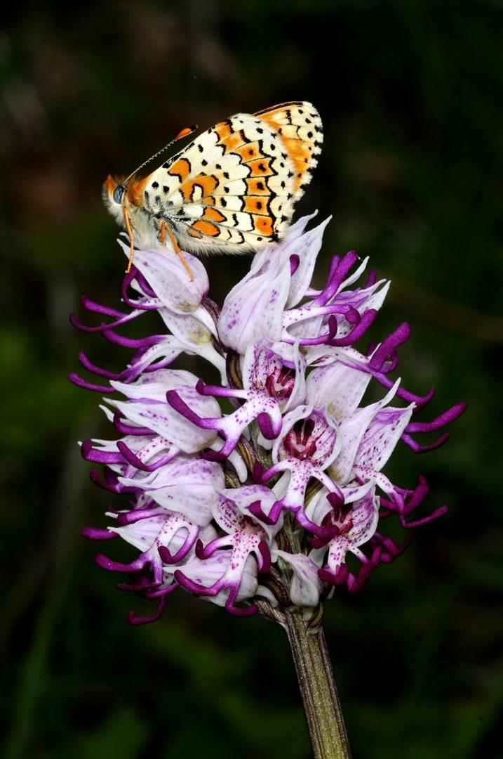 Orchis simia Cyclamen automnalis Bombus sp. - ΧΑΡΗΤΑΚΗΣ ΠΑΠΑΙΩΑΝΝΟΥ/ HARITAKIS PAPAIOANNOU