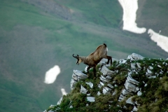 Βαλκανικό αγριόγιδο (Rupicapra rupicapra) Βαλκανικό αγριόγιδο (Rupicapra rupicapra balcanica) στις κορυφές της Τύμφης Orchis simia Cyclamen automnalis Bombus sp. - ΧΑΡΗΤΑΚΗΣ ΠΑΠΑΙΩΑΝΝΟΥ/ HARITAKIS PAPAIOANNOU