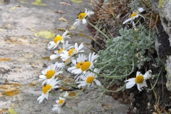 Anthemis cretica columnae - ΚΑΤΕΡΙΝΑ ΓΟΥΛΑ/ KATERINA GOULA