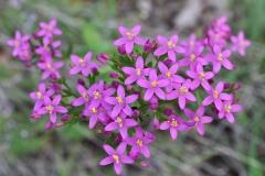 Centaurium erythraea - ΚΑΤΕΡΙΝΑ ΓΟΥΛΑ/ KATERINA GOULA